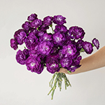 Deep Purple Mini Carnation Bunch in a hand