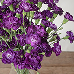 Deep Purple Mini Carnation Flowers In a vase Close up