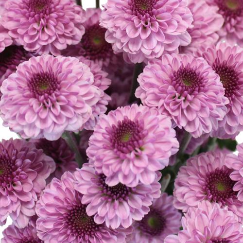 Sweet Lilac Button Pom