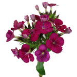 Purple_Dianthus_Flower