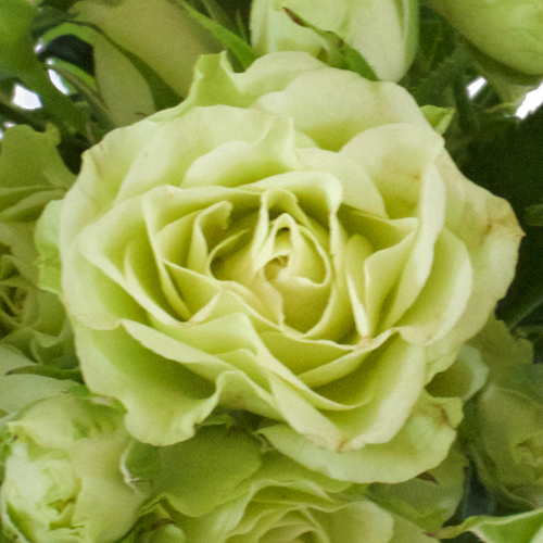 Diosa Lime Green Spray Roses up close