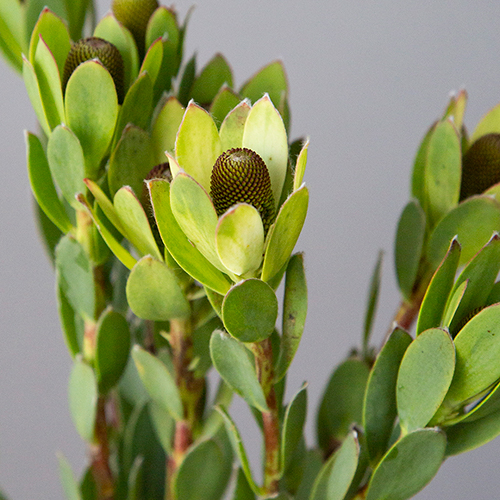 Unique Tropical Leucadendron Cone Bush
