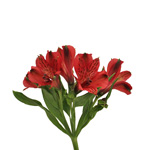 Brick Red alstroemeria Wholesale Flower Bunch