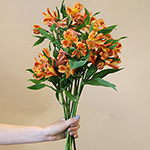 Orange alstroemeria Wholesale Flower Bunch in a hand