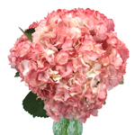 Airbrushed Sunkissed Hydrangea Wholesale Flower Bunch in a Hand