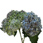 Antique Hydrangea Blue and Green Vintage Flower in a Bunch
