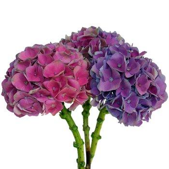 Antique Dutch Hydrangea Purple Pink Wholesale Bunch in Hand