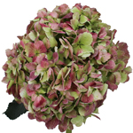 Antique Green Red Hydrangea Extra Large Hydrangea Wholesale Flower Bunch in a hand