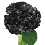 Black Airbrushed Hydrangea Flower Bunch in Hand