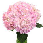 Blush Enhanced Hydrangea Wholesale Flower Bunch in a hand