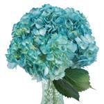 Caribbean Blue Enhanced Hydrangea in a Vase