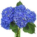 Dark Blue Hydrangea Wholesale Flower Bunch in a hand