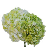 Giant Pale Green Hydrangea Wholesale Flower Bunch in a hand