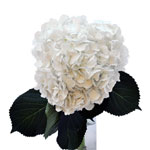Giant Pure White Hydrangea Wholesale Flower Bunch in a hand