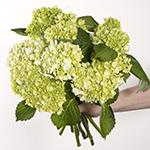 Honeydew Green Hydrangea Wholesale Flower Bunch in a hand