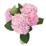Hues of Pink USA Grown Hydrangea Flower in a bunch