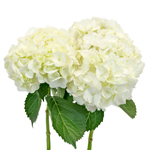 Bunch of white hydrangea flowers