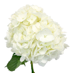 Hydrangea Ivory White Flower Express Delivery Wholesale Flower Bunch in Hand