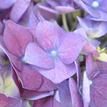 Lavender Blue Hydrangea Wholesale Flower Bloom Close up