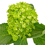 Lime Green Clover Hydrangea Wholesale Flower Bunch
