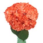 Orange Airbrushed Hydrangea Wholesale Flower Bunch