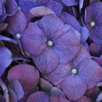 Purple Hydrangea Wholesale Flower Up bloom