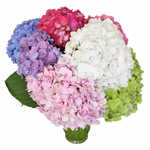 Rainbow of Colors Hydrangea Wholesale Flower Bunch in a hand