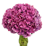 Raspberry Hydrangea Wholesale Flower Bunch in a hand