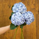 Shocking Blue Hydrangea Wholesale Flower Bunch in a hand