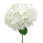 White Hydrangea Wholesale Flower Bunch Stem