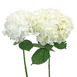 White Hydrangea Wholesale Flower Bunch in a Hand