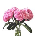 Pink Enhanced Hydrangea Wholesale Flower Bunch