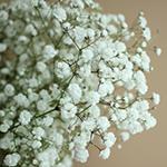 Baby's Breath White Wholesale Flower