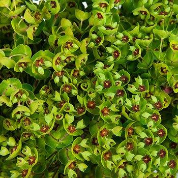 Wedding greenery dog eye euphorbia filler flowers sold near me