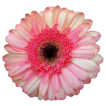 Gerbera Daisy Dolores Pink Wholesale Flower Up close