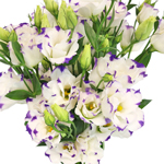 Double Arena Blue Picote White and Purple Lisianthus Wholesale Flower Upclose