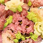 Double Coreli Apricot Wholesale Flower Upclose