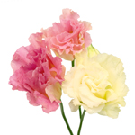 Double Coreli Pink Champagne Wholesale Flower Upclose