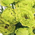 Double Rosanne Green Lisianthus Wholesale Flower Upclose