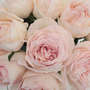 Blush Pink Wholesale Garden Rose