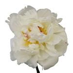 Duchess White Peony Bloom View