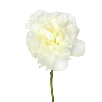 Duchess White Peony Stem