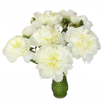 Duchess White Peony in a vase