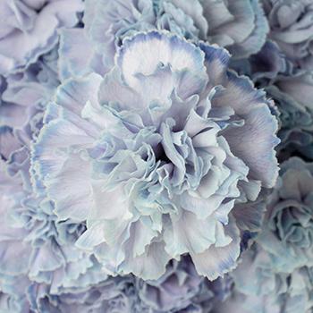 Dusty Blue Wedding Flower Carnation