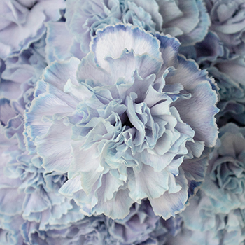 Dusty Blue Carnation Wedding Flowers Up Close