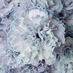 Dusty Blue Carnation Wedding Flowers Up Close