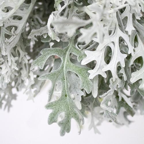 Wedding greenery dusty miller lacy leaf filler flowers sold near me