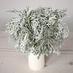 Fresh cut greens dusty miller lacy leaf greenery designed