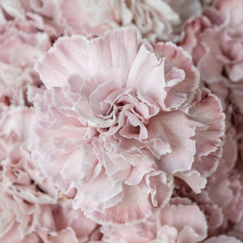 Dusty Pink Wedding Carnations