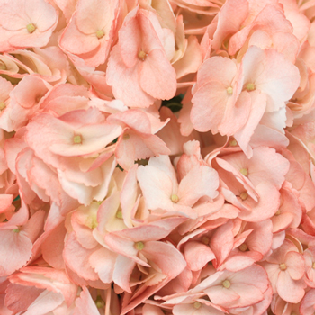 Dusty Rose Airbrushed Hydrangea Flower Up Close